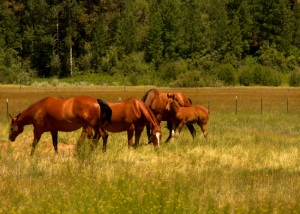 horses_ft_klamath_oregon_field