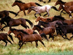 wild-mustangs-gardner-ranch-california